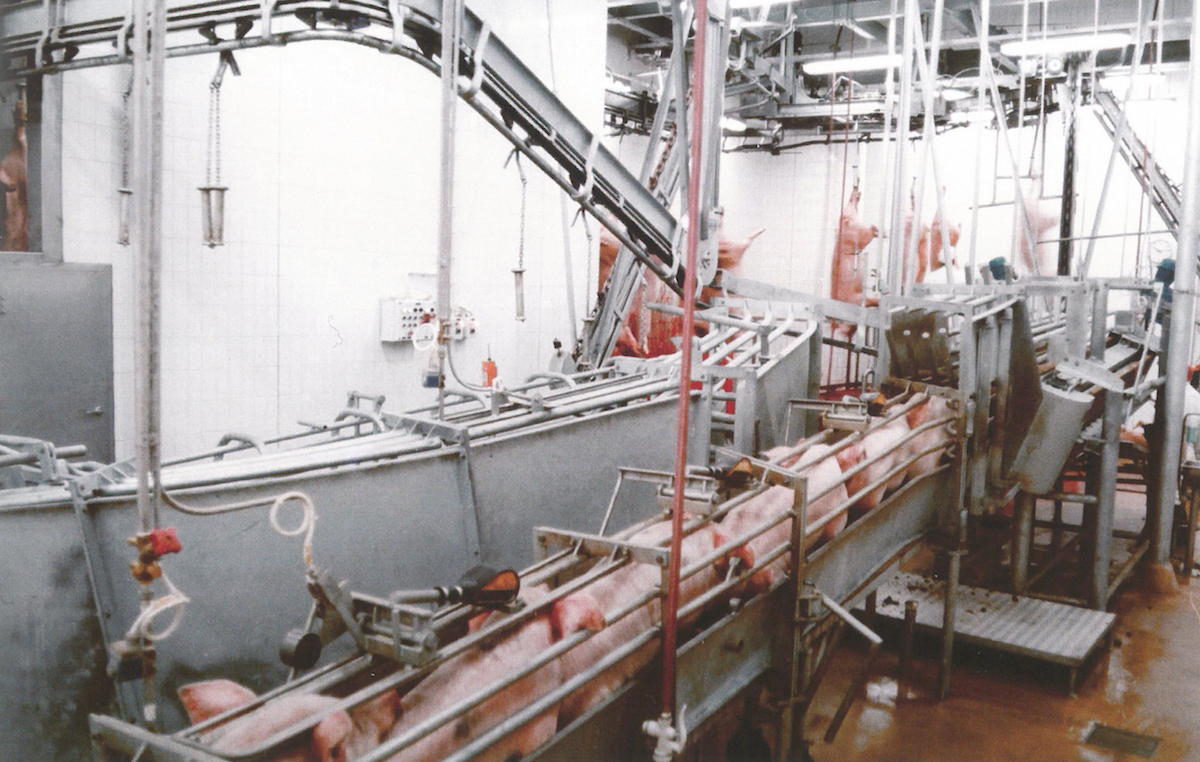Following the inauguration of the pork line on 26 April 1982, the new slaughtering line demonstrated its efficiency.