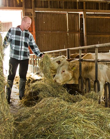 Cattle feeds and feeding