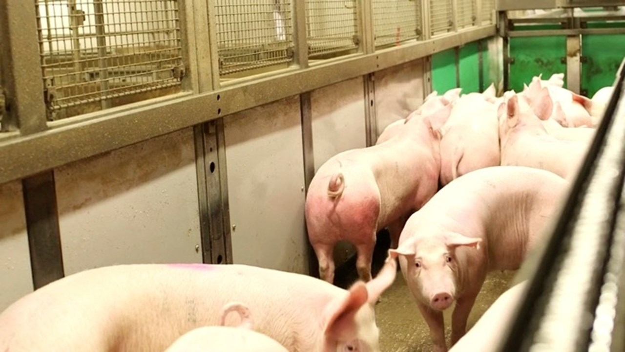 Atria pig slaughterhouse is now Welfare Quality audited